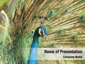 Male close portrait peacock