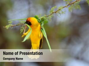 (ara blue and yellow macaw ararauna), also