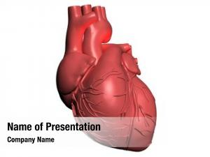 Heart model human