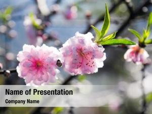 Blossom, sakura, cherry cherry tree