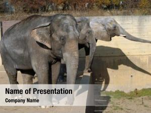 Elephant one african calf (loxodonta