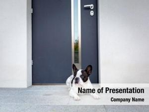 Waiting french bulldog house door