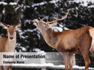 Noble roe deer deer stag