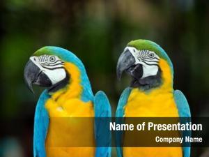 Macaws pair colorful parrots