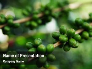 Organic close fresh coffee cherries,