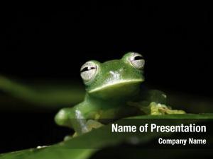 Hyalinobatrachium glass frog amphibians mainly