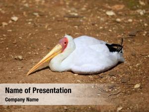 Stork african yellowbilled tantalo, mycteria