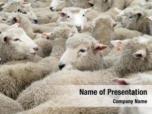 Orange mob sheep tags