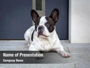 Waiting french bulldog house door