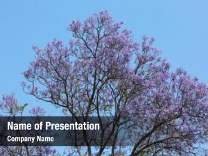 Full jacaranda tree bloom displaying