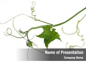 Leaf luffa loofah vine over