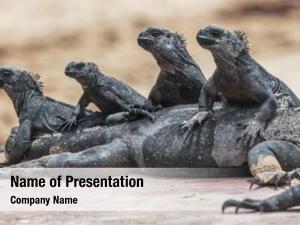 Animals galapagos funny marine iguana