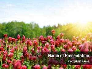 Crimson field flowering clovers (trifolium