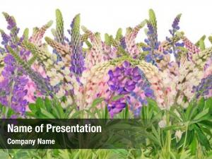 Large lupine flowers group white