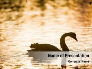 Bird silhouette swan sunset water