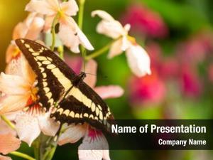 Metamorpha beautiful butterfly stelenes tropical