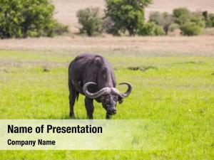 Buffalo gorgeous african graze tall