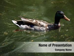 Duck male wild (anas platyrhynchos),