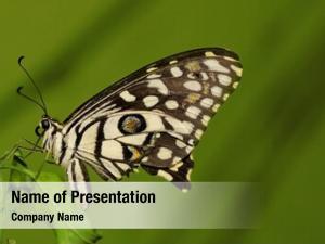(papilio lime butterfly demoleus) butterfly