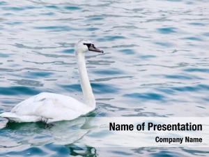 Wild mute swan swan (cygnus