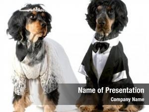 Groom dog bride english cocker
