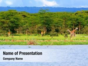 Giraffes family wild lake naivasha