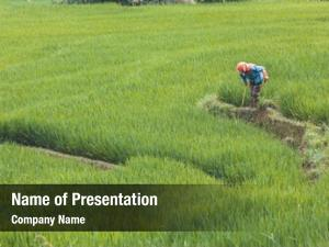 Cultivating vietnamese farmer rice field