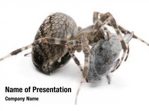 Spider, european garden diadem spider,