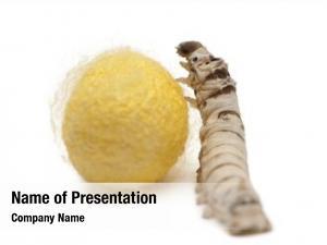 Cocoon, silkworm larvae bombyx mori,