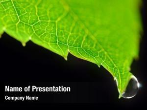 Green dew drop leaf black