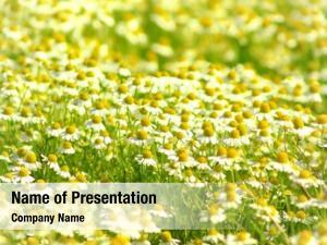 Flowers wild chamomile field sunny