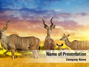Kudu herd greater savannah sunset