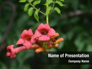 Radicans campsis tecoma flower also