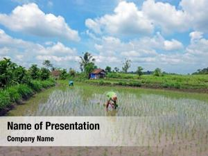 Rice workers planting rice fields