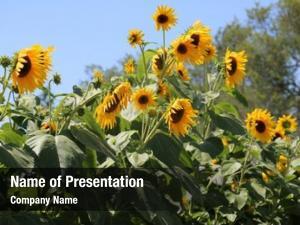 Yellow beautiful bright sunflowers grow