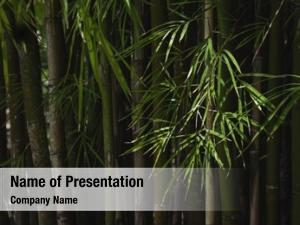 Bamboo trees green forest