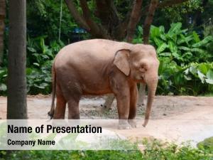 Elephant big wild