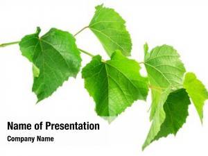 Leaves green vine grape leaves