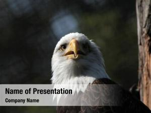 (haliaeetus bald eagle leucocephalus), known