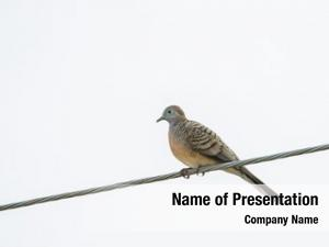 Known zebra dove, barred ground