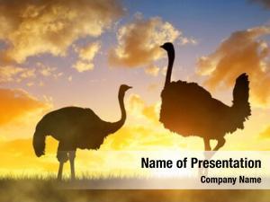 Ostrich silhouette two savanna orange