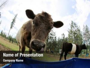 Through cow photographed fisheye lens