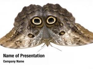 Caligo owl butterfly memnon butterfly