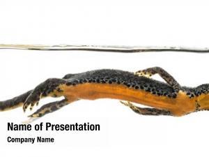 Swimming, alpine newt ichthyosaura alpestris,