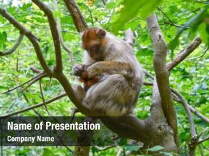 Macaca barbary apes sylvanus macaque