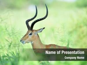 Wildlife antelopes african background