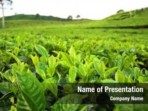 Plantation field tea