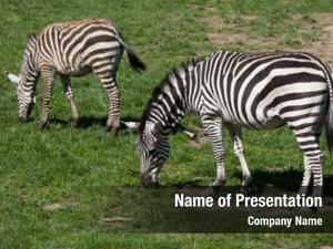 African animals plains zebra equus