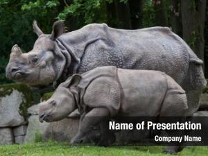 Greater one horned rhinoceros newborn indian rhinoceros