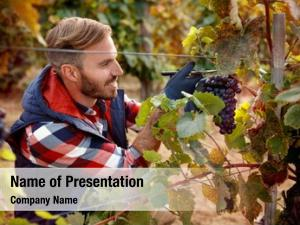 Vineyard  grapes family smiling worker